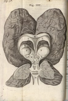 "Fig. 4: Plate IV, ""The humane brain of a certain youth that was foolish from his birth,"" Cerebri anatome, 1666 (BBML)"