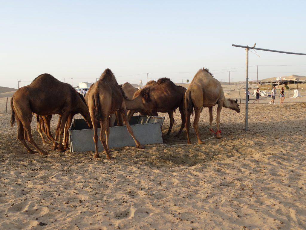 a visit to a camel farm is included in the Abu Dhabi desert safari