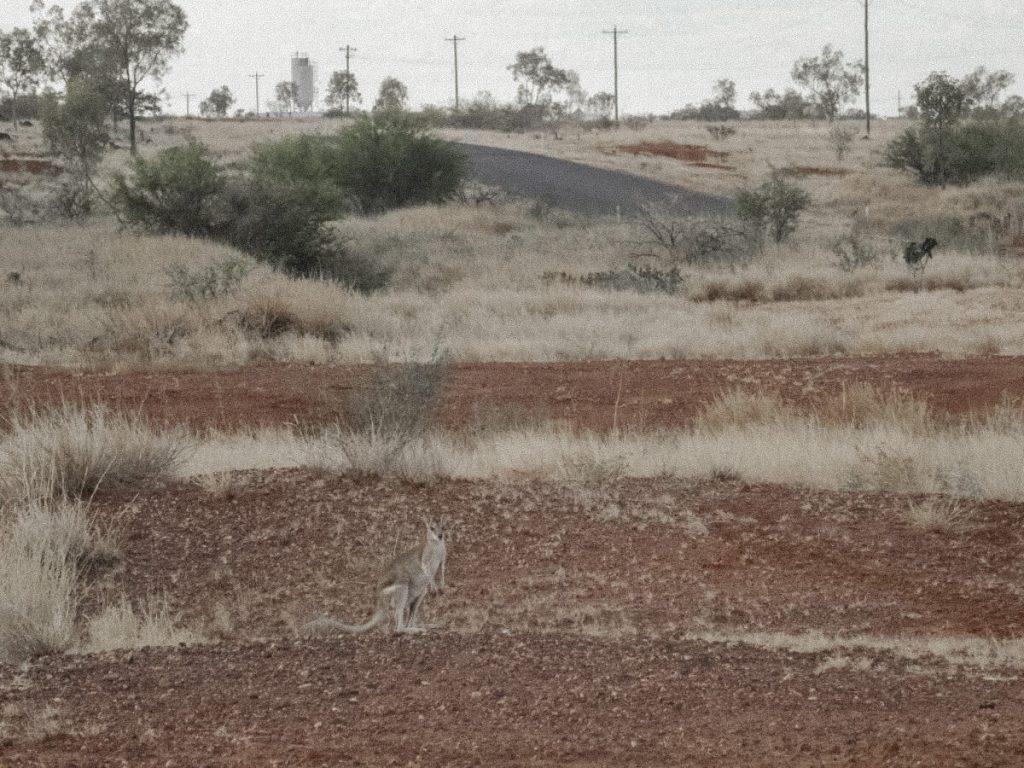 A kangaroo in the outback in Australia