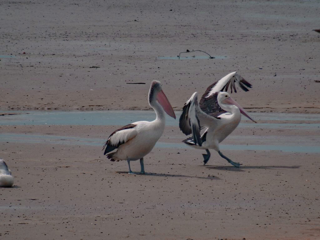 two pelicans near the lagoon in Cairns, Australia