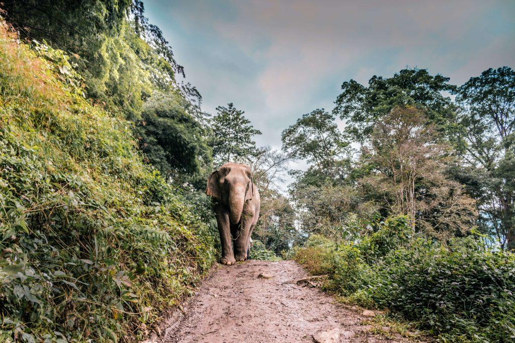 An Elephant at the elephant nature park near Chiang Mai, Thailand