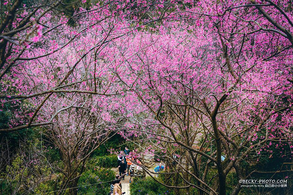 【新北】。土城櫻花步道杜鵑滿開《太極嶺登山步道》 - [自己的小小世界] 旅遊.攝影