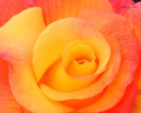 Rose! 517201505