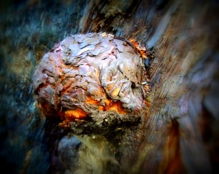 A classic Redwood burl on the trunk of a live tree.