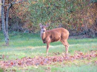 She's a three-legged deer!