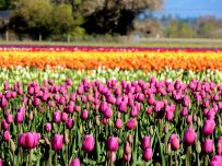 A Rainbow of Tulips