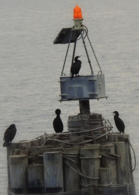 Cormorants and Pilings: Top 20% award for the day of 2/7/16...