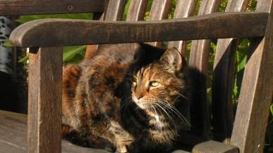 Tiggy, my fabulous Caulkhead tabby cat
