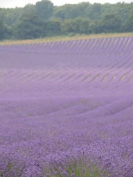 Kentish lavender fields