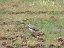 Lapwing again