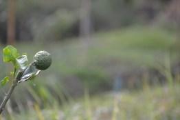 kaffir lime in the farm