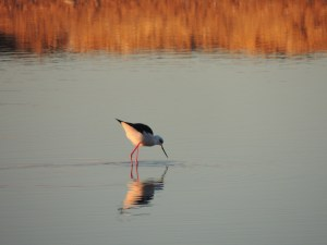 Black Winged Stilts are a common sight in Olhão.  They are one of the 'alarm' birds.