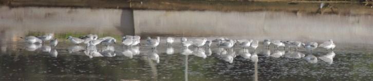 Mostly sanderlings