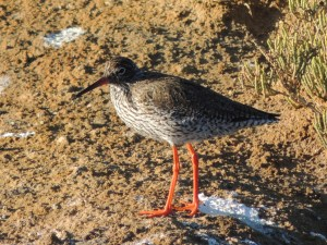 Red Shank 3