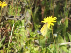 Clouded Yellow with friend