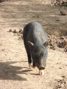Black Pigs of the Algarve
