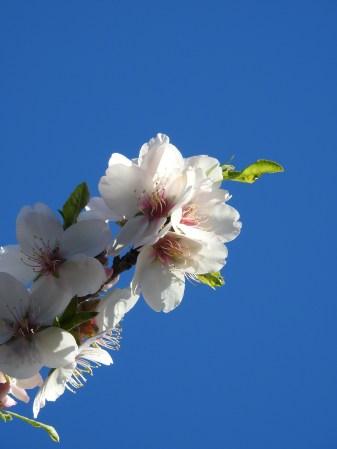 Almonds in the Algarve