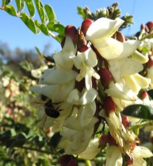 Honeybee on Astragalus