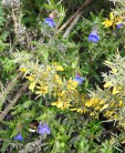Gorse, Bee and something I've yet to name!