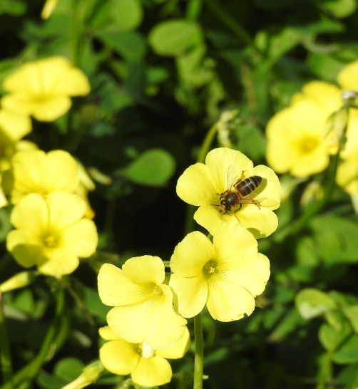 Honeybee in Bermuda Buttercup