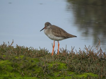 The Common Red Shank
