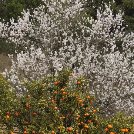 Oranges and Almond Blossom