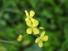 Possibly brassica barrelieri