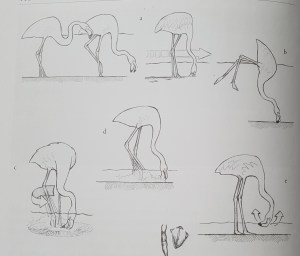 Diagram from The Greater Flamingo