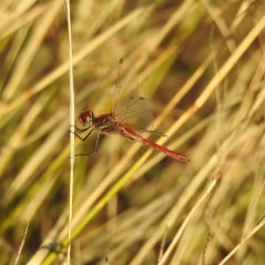 Male red veined darter