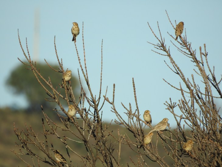 Gathering of Corn Buntings
