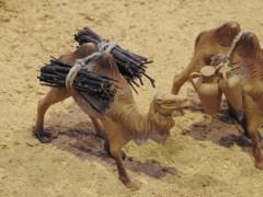 Camels hard at work
