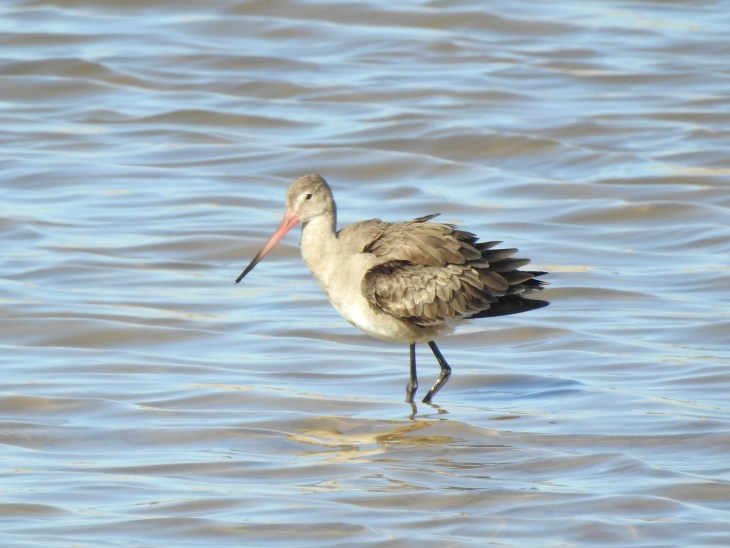 Black Tailed Godwit - winter plumage