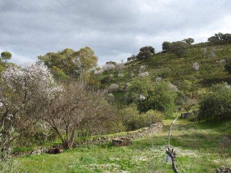 More Almond Blossom
