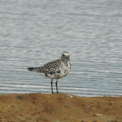 Grey Plover mid moult