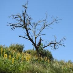 Yellow lupins