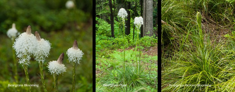 The growth cycle of Beargrass