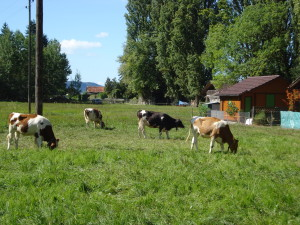 Swiss cows with cowbells