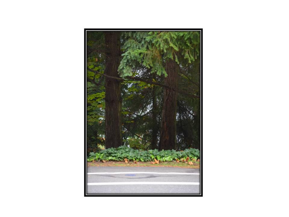 Native Towering Trees, Bellevue Washington