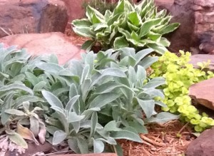 Lamb's ear with Hosta and cCeeping Jenny