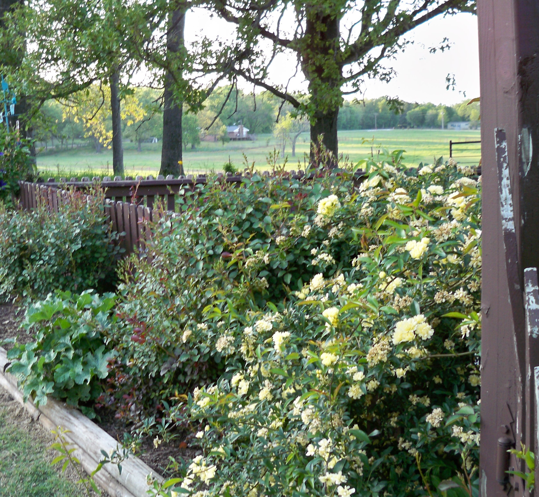 Lady Banks Yellow Rose Becky S Flower Farm Nw Arkansas