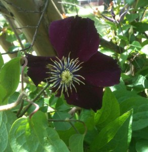Ruby Color Clematis