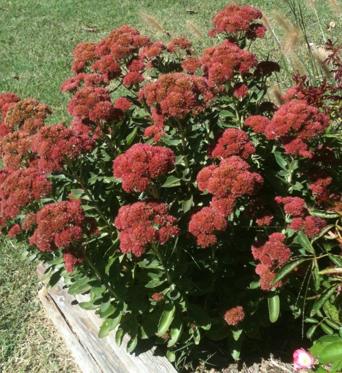 Sedum Autumn Joy Becky S Flower Farm Nw Arkansas