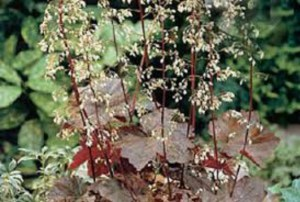 Heuchera Blooms
