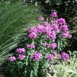 Tall Garden Phlox with Maiden Grass