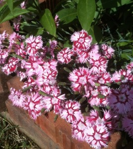 Dianthus Garden Pinks