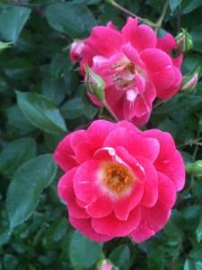 Pink Meidland Rose