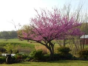 Redbud in Spring