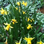 Daffodils with Lamium ground cover
