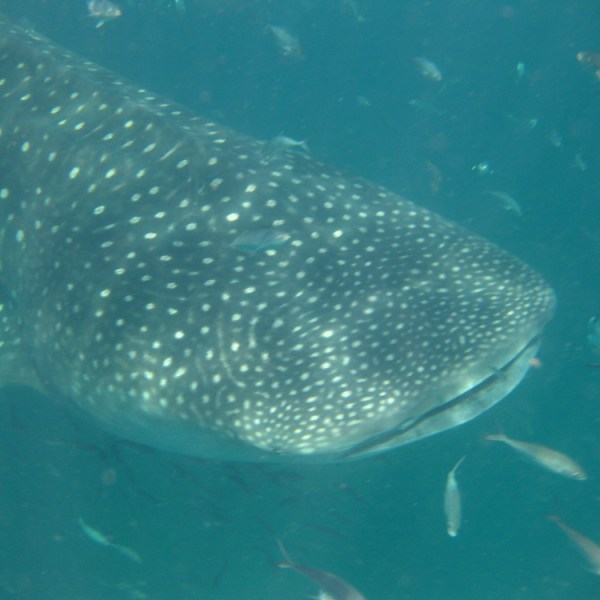 Why You Should Swim With Whale Sharks In Isla Holbox, Mexico