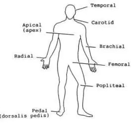 Pulse points on the body